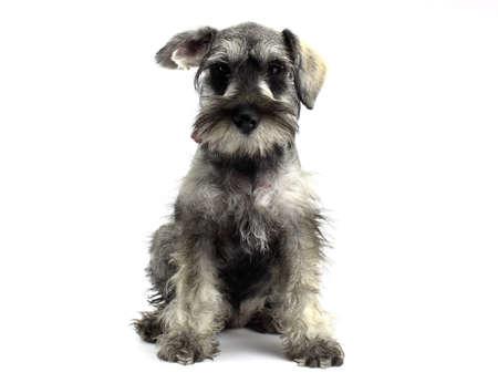 schnauzer: Schnauzer puppy two
