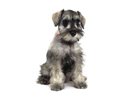 schnauzer: Schnauzer puppy