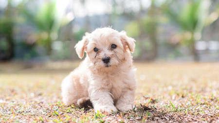 Puppy bichon Maltese Imagens