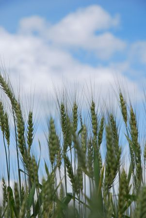 spikelets of wheat on a summer field