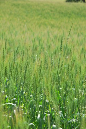 Field of wheat at nice summer day Stock Photo - 8126045