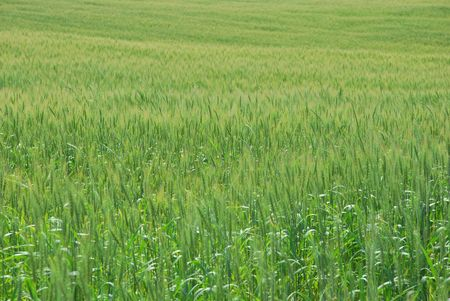 Field of wheat at nice summer day Stock Photo