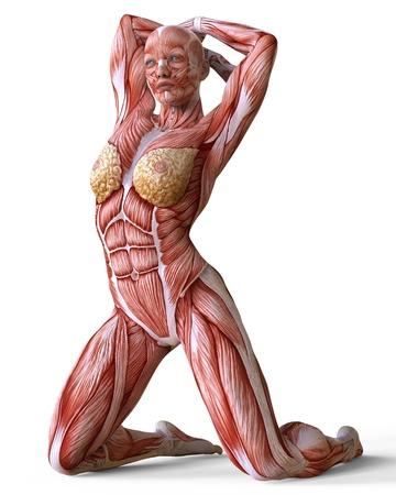 Vrouwelijke anatomie en spieren, lichaam zonder huid geïsoleerd op wit