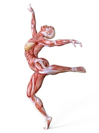 Weibliche Anatomie und Muskeln, Körper ohne die Haut lokalisiert auf Weiß Standard-Bild - 93750933