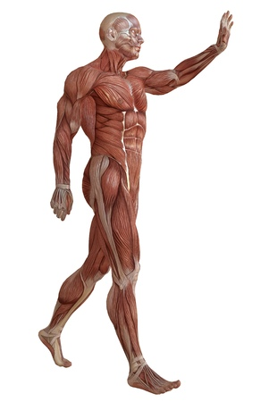 Male body without skin, anatomy and muscles 3d illustration isolated on white