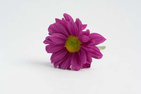blosom: A purple Gerbera flower on a white background. Stock Photo
