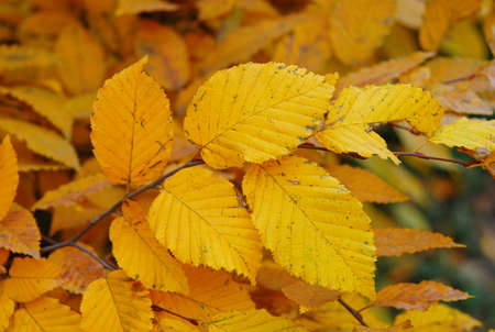 A branch of alders with bright yellow leaves as a symbol of the coming autumn Stock Photo - 84787649