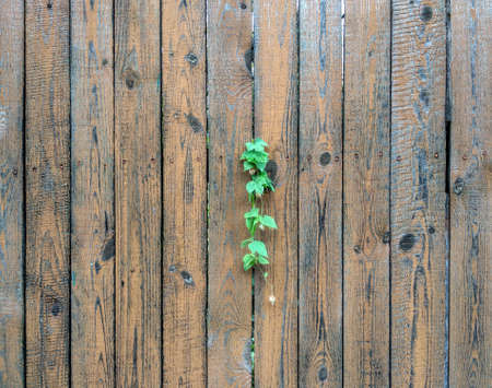 a branch of hops grows on a wooden fence