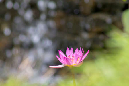 Purple lotus flower (Nymphaea Capensis), located in the Topotepui ranch, in Caracas. Venezuela