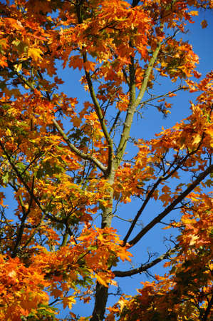 Fall yellow red maple forest with blue sky in Fulda, Hessen, Germany photo