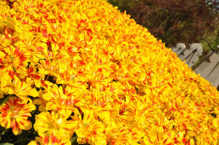 Yellow blossing tulips in Amsterdam park in Holland photo