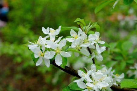 White flowers of an apple tree in Fulda, Hessen, Germany photo