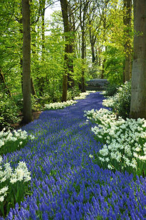 Grape Hyacinth and white daffodils in Keukenhof park in Holland photo
