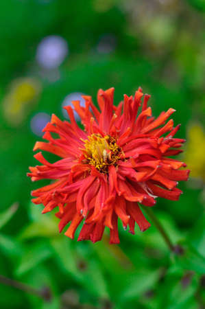 Red flower Zinnia close-up, Moscow Region, Russia photo