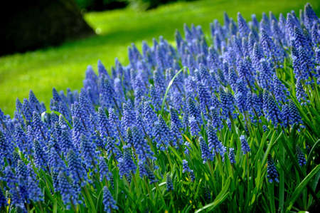 Grape Hyacinth with green grass in Keukenhof park in Holland photo