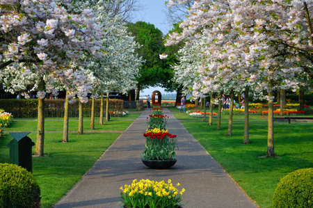 Alley with white blooming trees (Prunus triloba) in Keukenhof park in Holland Stock Photo