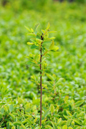 Young branch with leaves of a bush in Fulda, Hessen, Germany photo