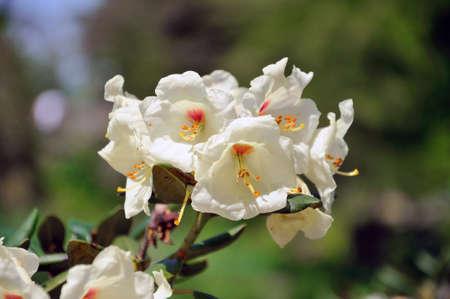 White flowers (Datura) in closeup in Palmen Garten, Frankfurt am Main, Hessen, Germany photo