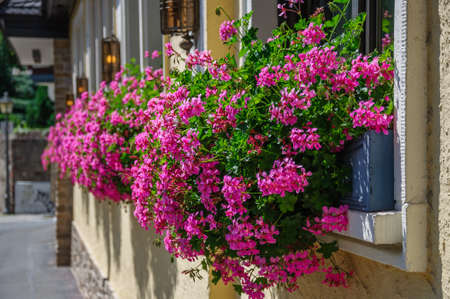 Beautiful pink flowers pelargonium hang-downing in macro on the balcony