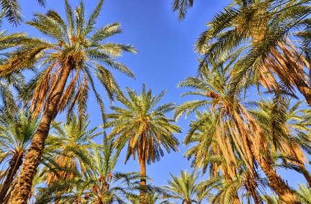 palmier: Les palmiers dattiers dans les jungles à Tamerza oasis, désert du Sahara, Tunisie, Afrique, HDR Banque d'images