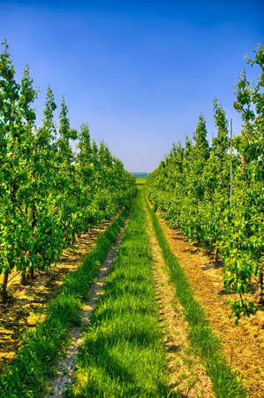 benelux: Rows of young apple trees in Belgium countryside, Benelux, HDR