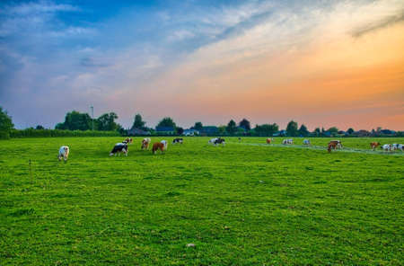 Herd of cows at summer green field near Liege, Belgium, Benelux, HDR Stock Photo