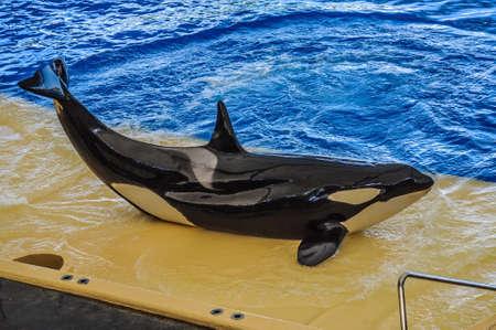 grampus: Killer whale, grampus, Orcinus orca dancing in oceanarium, Tenerife, Canarian Islands