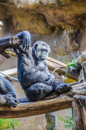 chimpances: Chimpancés, monos chim en Loro Parque, Tenerife, Islas Canarias