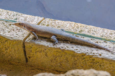 adult kenya: Plated lizzard in Loro Parque, Tenerife, Canary Islands