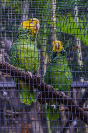 Gelb gekrönter Grün Amazonas-Papageien in Puerto de la Cruz, Santa Cruz de Tenerife, Teneriffa, Kanarische Inseln.