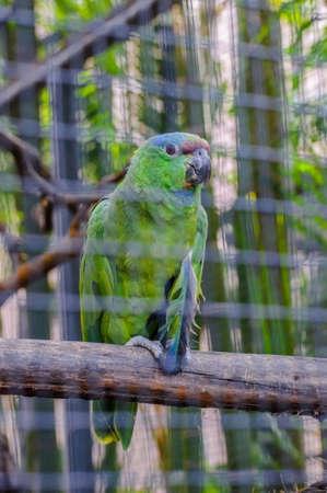 santa cruz de tenerife: Green Amazon Parrot in Puerto de la Cruz, Santa Cruz de Tenerife,Tenerife, Canarian Islands.