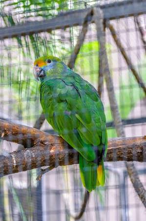 Grüne Amazonas-Papageien in Puerto de la Cruz, Santa Cruz de Tenerife, Teneriffa, Kanarische Inseln. Lizenzfreie Bilder