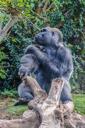 lowland: Portrait of a western lowland gorilla in Loro Parque, Tenerife, Canary Islands.
