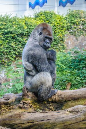 western lowland gorilla: Portrait of a western lowland gorilla in Loro Parque, Tenerife, Canary Islands.