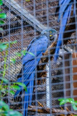 Blauer Ara Papagei auf einem Zweig in Puerto de la Cruz, Santa Cruz de Tenerife, Teneriffa, Kanarische Inseln sitzen.
