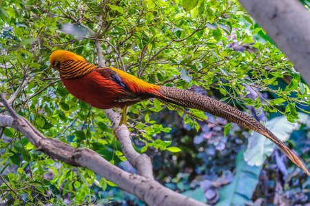 upland: Goldern pheasant in Loro Parque, Tenerife, Canary Islands