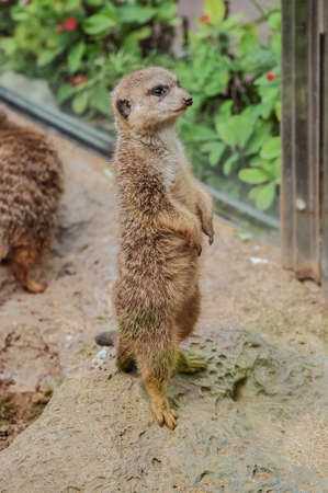 alarmed: Suricate in Loro Parque, Tenerife, Canary Islands Stock Photo