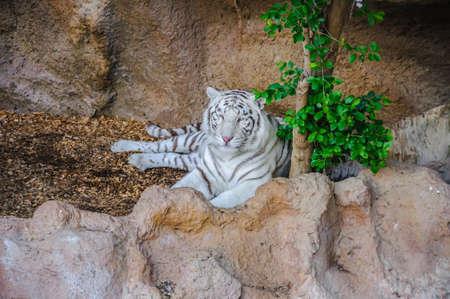 Bengal-weißer Tiger im Loro Parque, Teneriffa, Kanarische Inseln Lizenzfreie Bilder