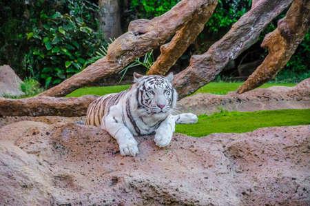 tigresa: Tigre de Bengala blanco en el Loro Parque, Tenerife, Islas Canarias