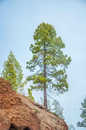 Kanarische Kiefer, Pinus canariensis im Forestal Naturpark, Teneriffa, Kanarische Inseln