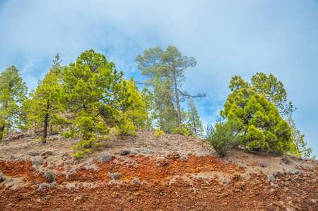 Kanarischen Kiefern, Pinus canariensis im Forestal Naturpark, Teneriffa, Kanarische Inseln