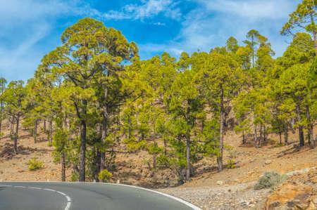 Straße entlang der kanarische Kiefern im Forestal Naturpark, Teneriffa, Kanarische Inseln.