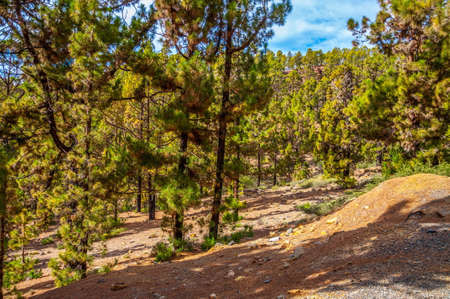 canariensis: Canarian pines, pinus canariensis in the Forestal Nature Park, Tenerife, Canary Islands Stock Photo