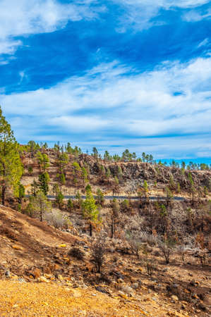 canariensis: Canarian pines, pinus canariensis in the Forestal Nature Park, Tenerife, Canary Islands. Stock Photo