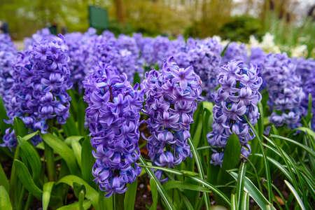 Frische Frühlingshyazinthen Glühbirnen, im Landgarten, Gladiolen und Hyazinthen gewachsen. Blumenbeet mit Hyazinthen im Keukenhof, Lisse, Holland, Niederlande.