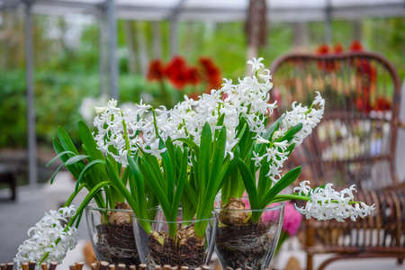 Fresh early spring white hyacinth bulbs. Flowerbed with hyacinths in Keukenhof park, Lisse, Holland, Netherlands. Stock Photo