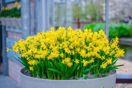 Gelb und weiße Narzissen im Keukenhof Park, Lisse, Holland, Niederlande