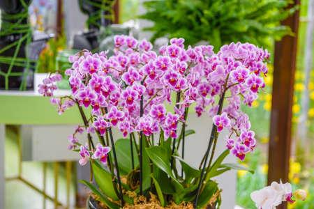 Schöne Orchideen im Keukenhof Park, Lisse, Holland Niederlande