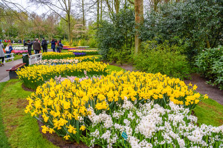 Yellow and white daffodils in Keukenhof park, Lisse, Holland, Netherlands
