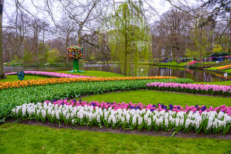 Fresh early spring pink, purple, white hyacinth bulbs. Flowerbed with hyacinths in Keukenhof park, Lisse, Holland, Netherlands